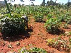 Abaana Farm_Cassava